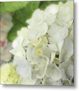 White Hydrangea At Rainy Garden In June, Japan Metal Print