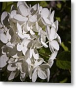 White Hydrangea Bloom Metal Print