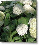 White Hydrangea Bush Metal Print
