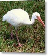 American White Ibis Bird Metal Print