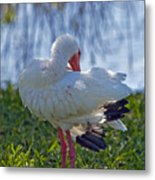 White Ibis Dries Off Metal Print