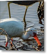 White Ibis Eating Metal Print