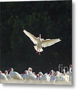 White Ibis In Flight Over Flock Metal Print