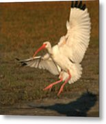 White Ibis Landing Upon Ground Metal Print