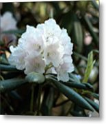White Inflorence Of  Rhododendron Plant Metal Print