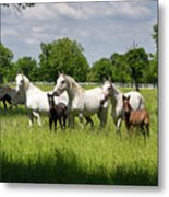 White Lipizzaner Mares Horse Breed With Dark Foals Grazing In A  Metal Print