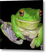 White-lipped Tree Frog Metal Print