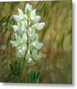 White Lupin Lupinus Albus Metal Print