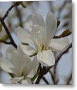 White Magnolia Blooming In Spring Metal Print