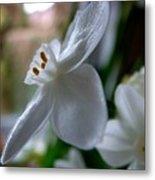White Narcissi Spring Flower 4 Metal Print