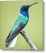 White Necked Jacobin Trinidad Metal Print