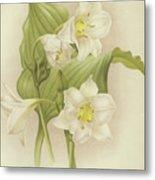 White Orchids   Eucharis Sanderiana Metal Print