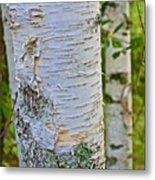 White Paper Birch Bark Along Bike Trail Near Walker-minnesota Metal Print