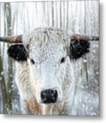White Park Cattle In The Snow Metal Print