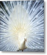White Peacock Metal Print