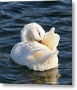 White Pekin Duck In Blue Water Preening Metal Print