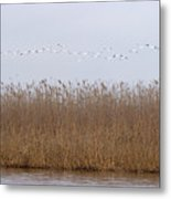 White Pelicans Fly Over Reed Bed On Lake  Metal Print