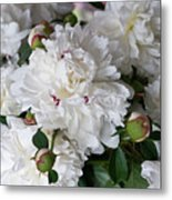 White Peony With Red Traces Metal Print