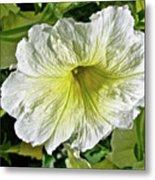 White Petunia - Solanaceae Metal Print