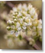 White Plum Blossom Metal Print