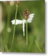White Plume Moth, Metal Print