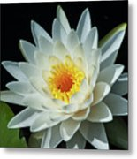 White Pond Lily Metal Print