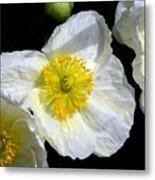 White Poppy Trio Photograph Metal Print