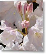 White Rhodies Pink Rhododendrons Flowers Art Prints Canvas Botanical Baslee Troutman Metal Print