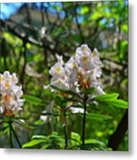 White Rhododendron Blooms Metal Print