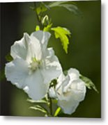 White Rose Of Sharon Squared Metal Print