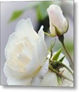 white Roses -2- Metal Print by Issabild -
