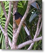 White Rumped Shama Metal Print