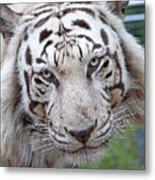 White Siberian Tiger Metal Print