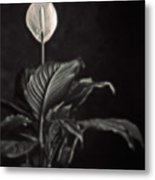 White Skunk Cabbage Metal Print