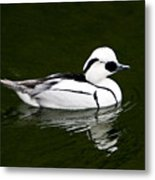 White Smew  Duck On Silver Pond Metal Print