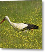 White Stork Looking For Frogs Metal Print