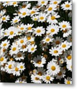 White Summer Daisies Metal Print