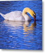 White Swan Drinking Water In A Pond Metal Print