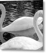 White Swans Metal Print
