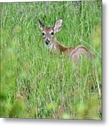 White-tailed Deer Bedded Down In Tall Grass Metal Print