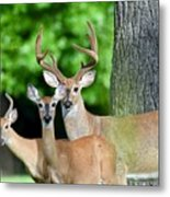 White-tailed Deer Family Metal Print