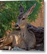 White-tailed Deer H1829 Metal Print