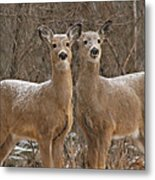 White-tailed Deer Pair Peering Out From Snowstorm Metal Print