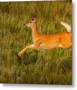 White-tailed Doe Leaping Metal Print
