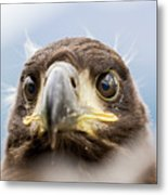 White-tailed Eagle #2 Metal Print