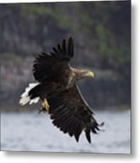 White-tailed Eagle Against Cliffs Metal Print