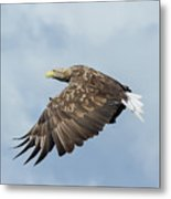 White-tailed Eagle Against Clouds Metal Print