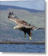 White-tailed Eagle Over Loch Metal Print