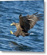 White-tailed Eagle Taking Fish Metal Print