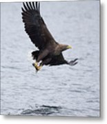 White-tailed Eagle With Catch Metal Print